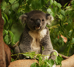 A very cuddly koala